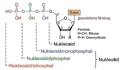 n-glykosidische bindung